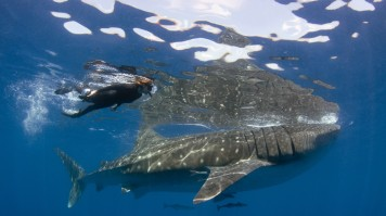 Cancun Swim with Whale Sharks