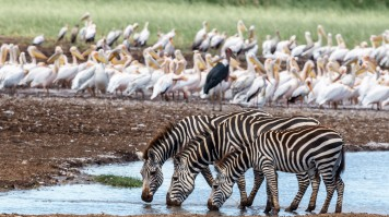 A herd of Zebras drinking water