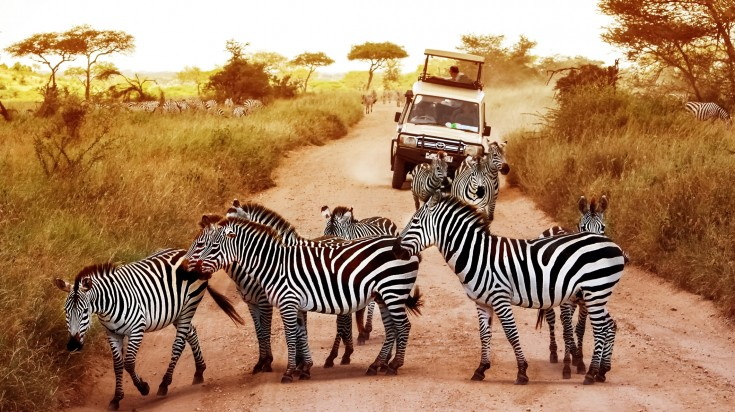 Herd of Zebras in the Serengeti National Park