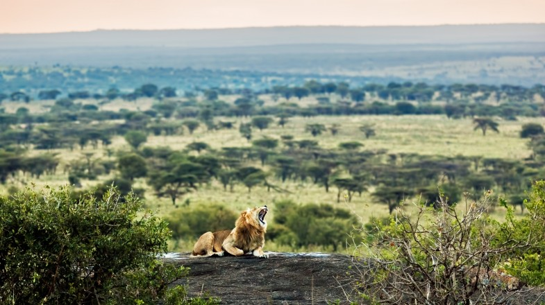 Lion in the Serengeti National Park in Tanzania