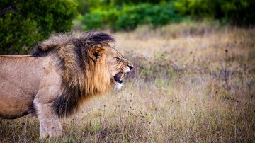 The Big 5 refers to five African game animals: the African Lion, African Leopard, African Elephant, Cape Buffalo, and Rhinoceros.