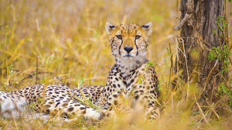 Cheetahs in Ngorongoro Conservation Area