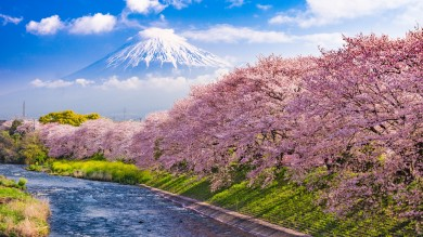 Japan's Shizuoka Prefecture is home to the mighty Mount Fuji and has a lot of fantastic places to watch the cherry blossom blooms.