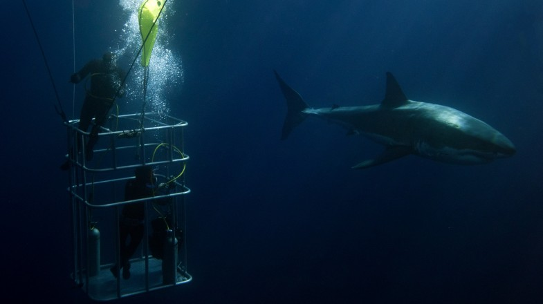 Gansbaai, located in South Africa's Western Cape, has one of the densest great white shark populations in the world, making it one of the best places to go cage dive