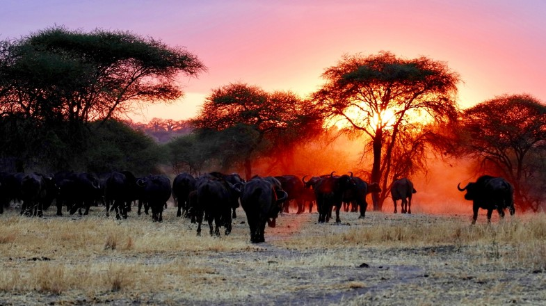 wild buffaloes against the sunset in tanzania
