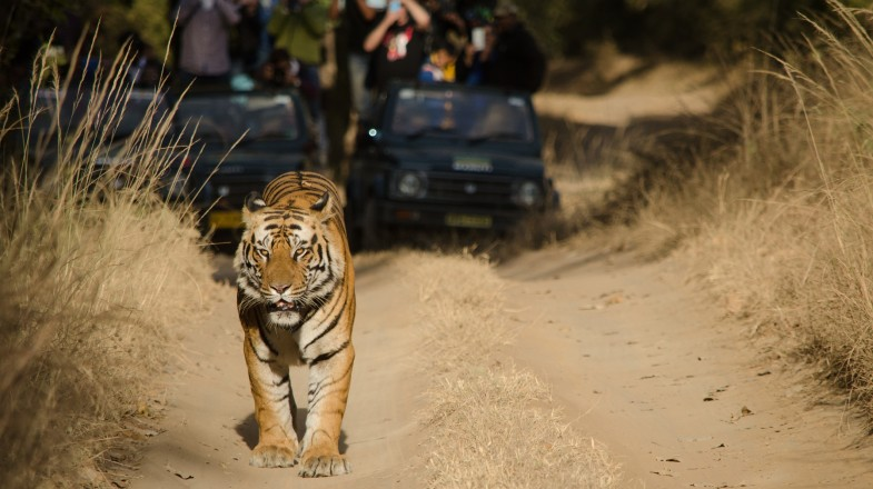 A tiger safari in India is a once-in-a-lifetime opportunity to experience the power and grace of India's most treasured animal.