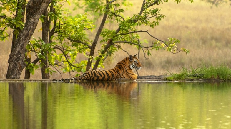 Ranthambore national park in India gives some of the best tiger safari experience in the country.