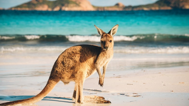 Kangaroo Island provides opportunities to view rare and endangered wildlife, travel across rugged and pristine coastline and trek through deserted forests