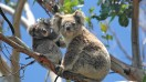 Koalas, the adorable marsupials are a popular icon of Australia.