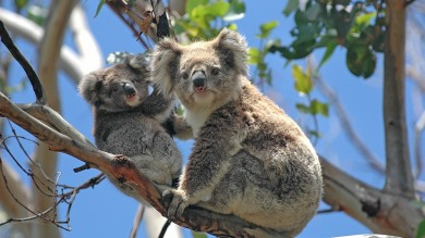 Koalas can be found in many national parks of Australia