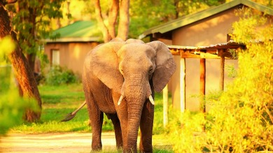 An elephant spotted outside one of the rest camps at Kruger National Park.