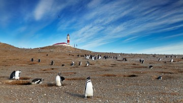 Located in the Strait of Magellan, Isla Magdalena is an island featuring a lighthouse which is also a museum, and colonies of hundreds of thousands of penguins.