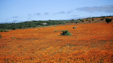 The best place to see the acres of colorful springtime blooms is in and around the Namaqualand region on the northwest coast of the country.