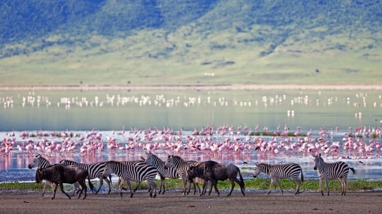 Zebras and wildebeest in Ngorongoro Crater