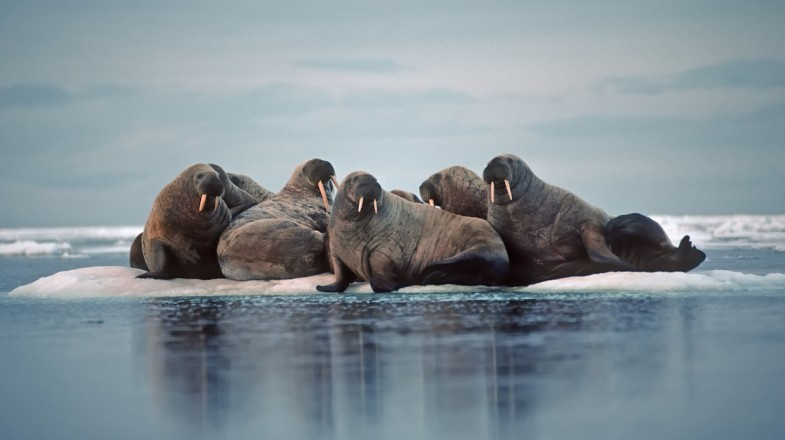 Spot the walruses on a holiday to the Polar regions