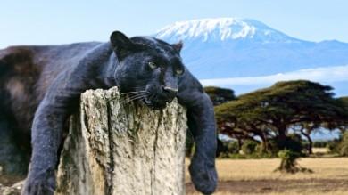 Leopard sighting in Kilimanjaro National Park