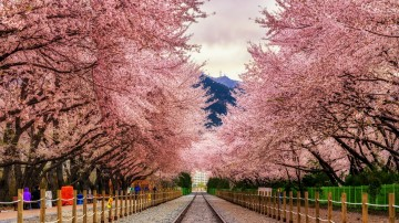 Gyeonghwa Station is a scenic spot in South Korea famous for its cherry blossom lined train station.