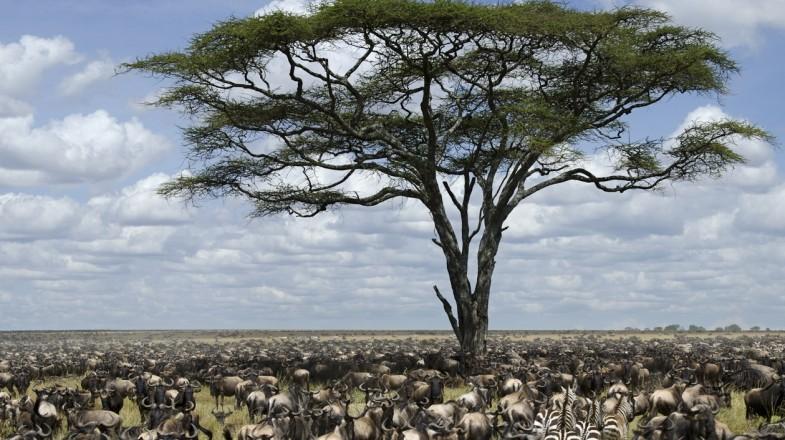 Wildebeest in Kilimanjaro National Park