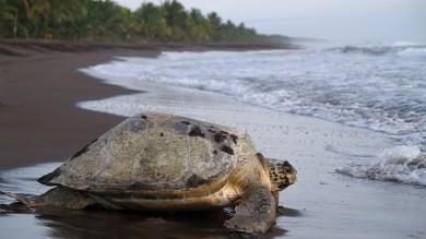 Several species of sea turtles are protected in the Tortuguero National Park in Costa Rica