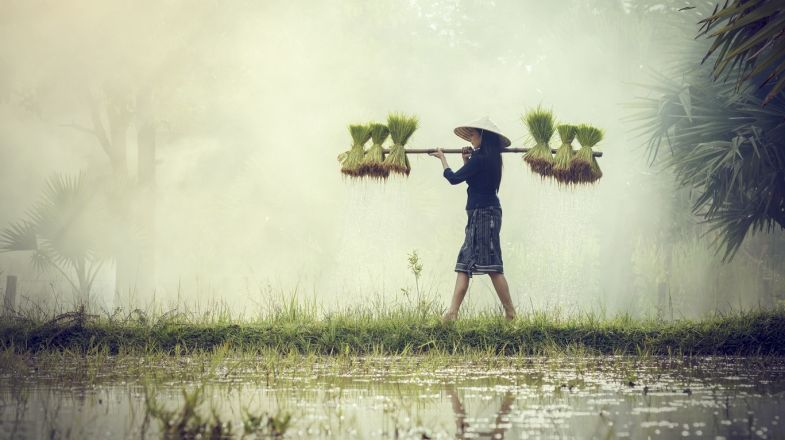 Farmers grow rice during the monsoon season in Vietnam