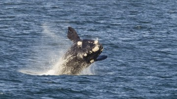 Hermanus is a prime destination for those hoping for a close encounter with some of the largest animals on our planet.