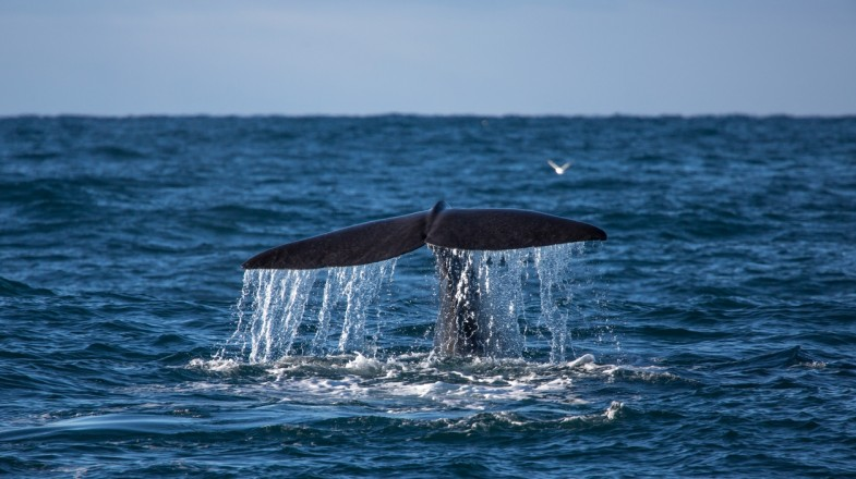 Whale watching is a popular tourist activity in Iceland
