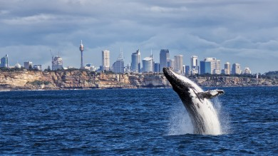 Whether its land, air or sea; there are many options for whale watching in Sydney.