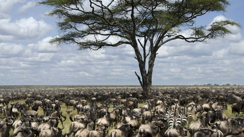Wildebeest migration or Serengeti migration is a sight to behold