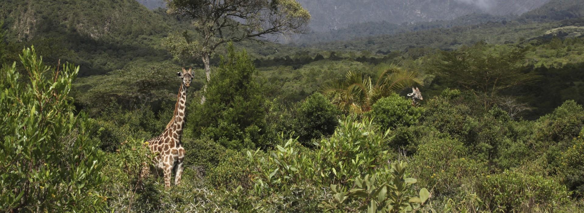 Giraffe grazing at the Arusha National Park