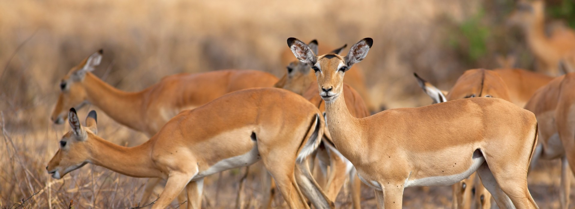 Herds of impala in the Mkata plains of Mikumi National Park