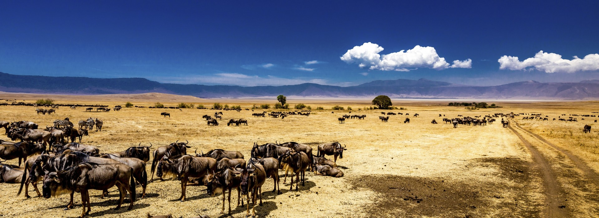 Herd of wildebeests in the Ngorongoro Crater