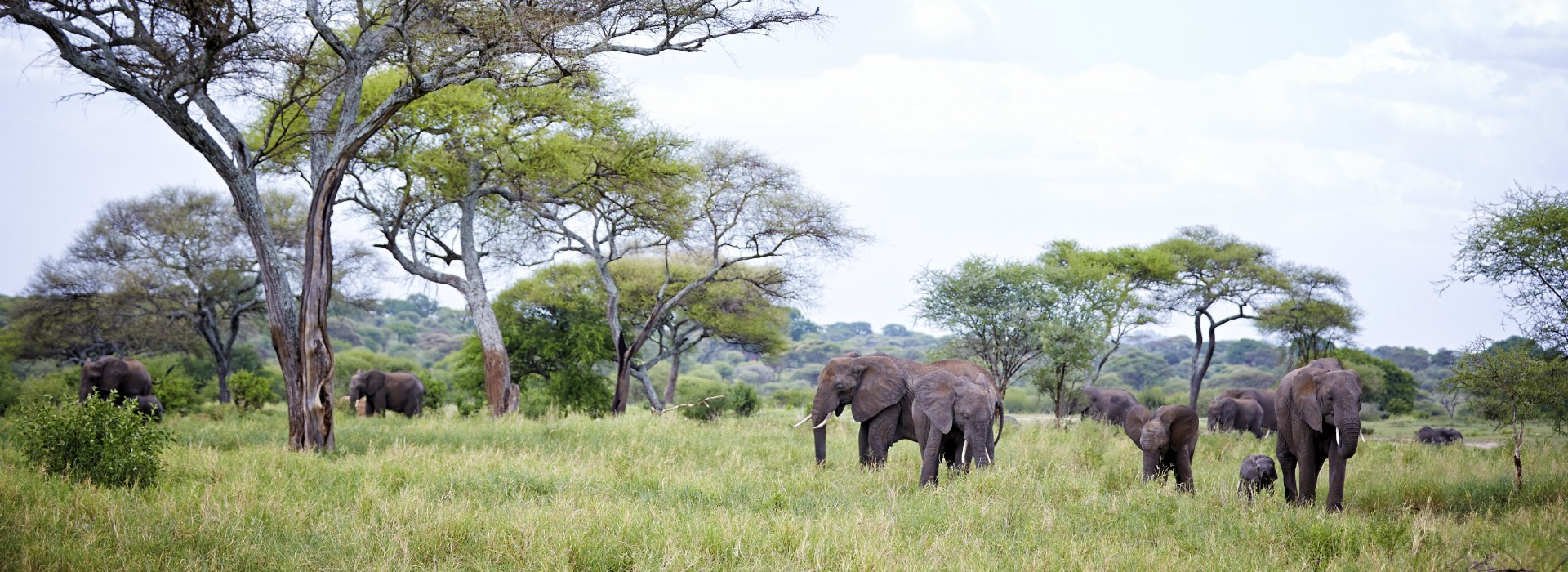 A family of elephants grazing in the plain lands of Tarangire National Park