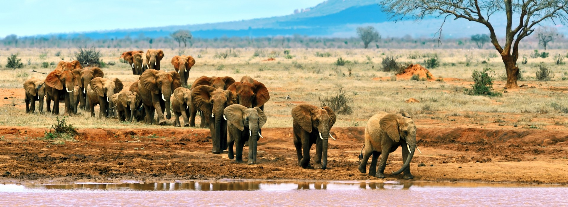 Herds of elephants walking in the Tsavo East National Park