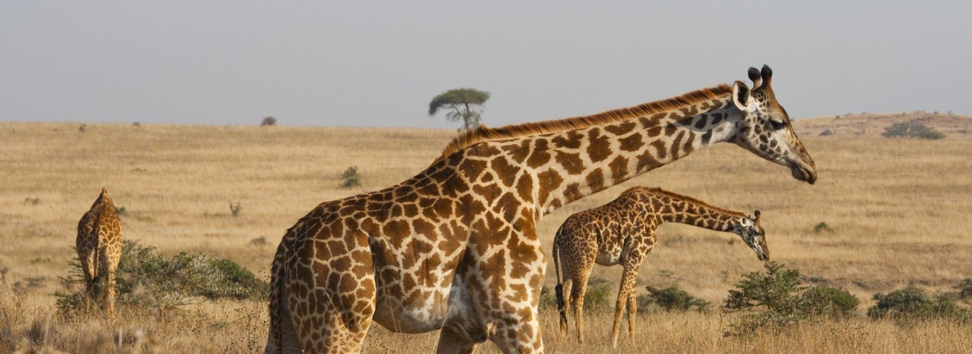 A giraffe family roaming freely at the Nairobi National Park in Kenya