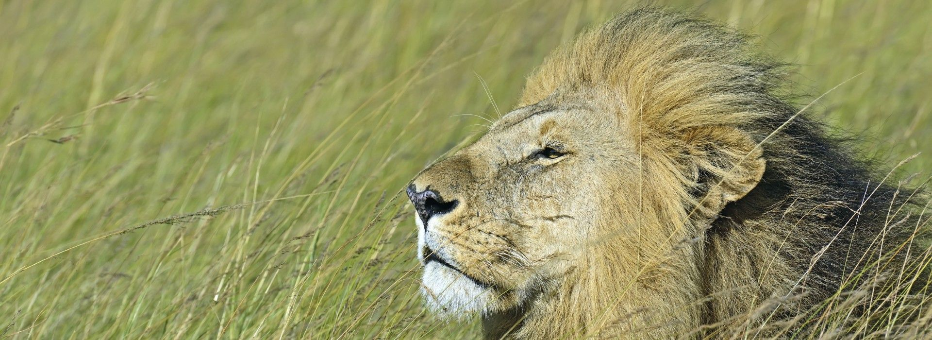 A male lion resting in Tsavo West National Park