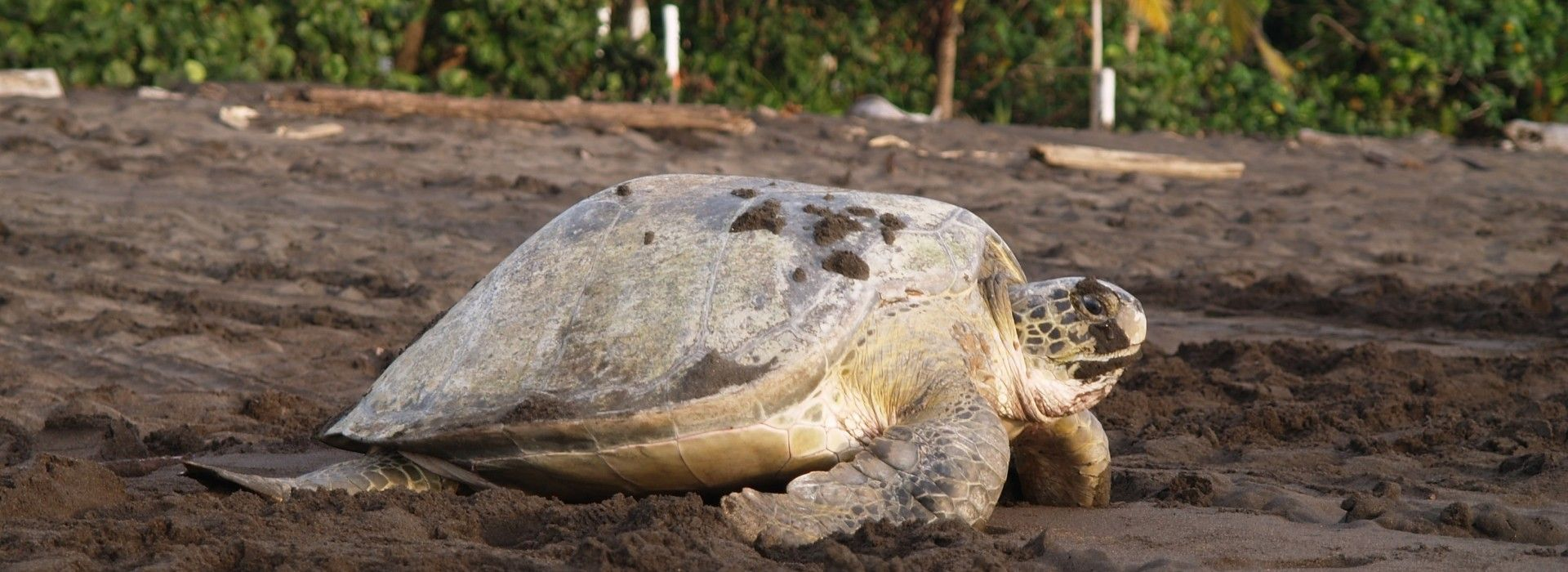 A turtle on Tortuguero National Park.