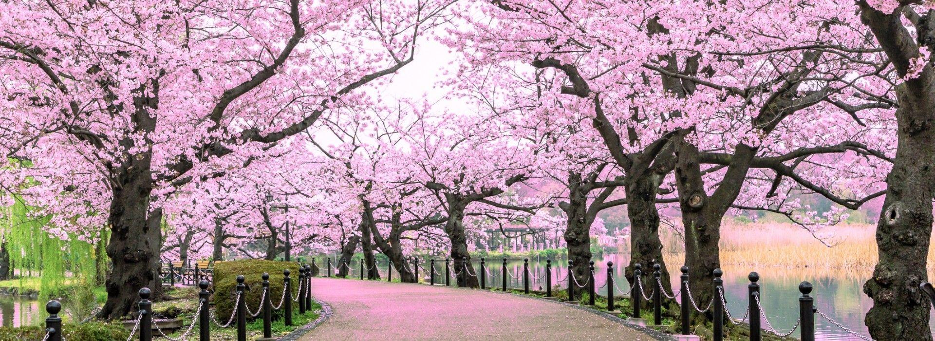Cherry Blossom Festival tour and trips
