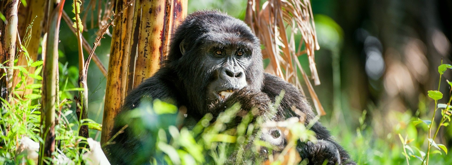 Gorilla and chimpanzee tracking Tours in Queen Elizabeth National Park
