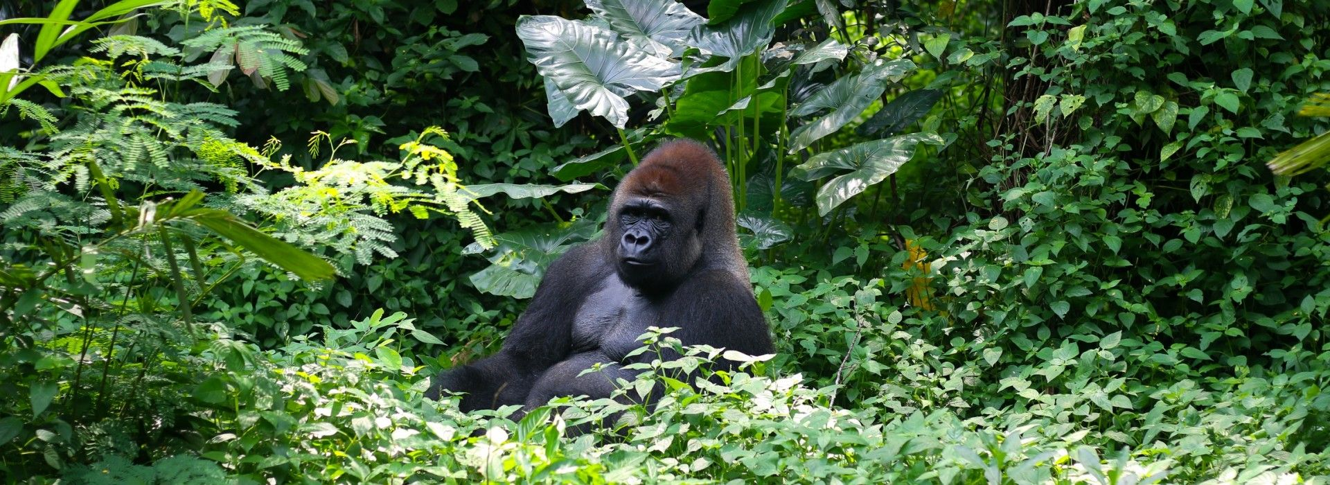 Gorilla and chimpanzee tracking Tours in Volcanoes National Park