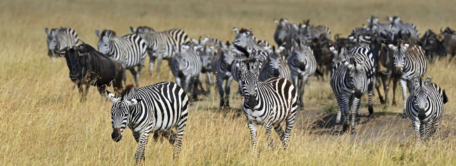 Grant's Zebra and Wildebeests mass migration seen in the Masai Mara National Reserve in Kenya