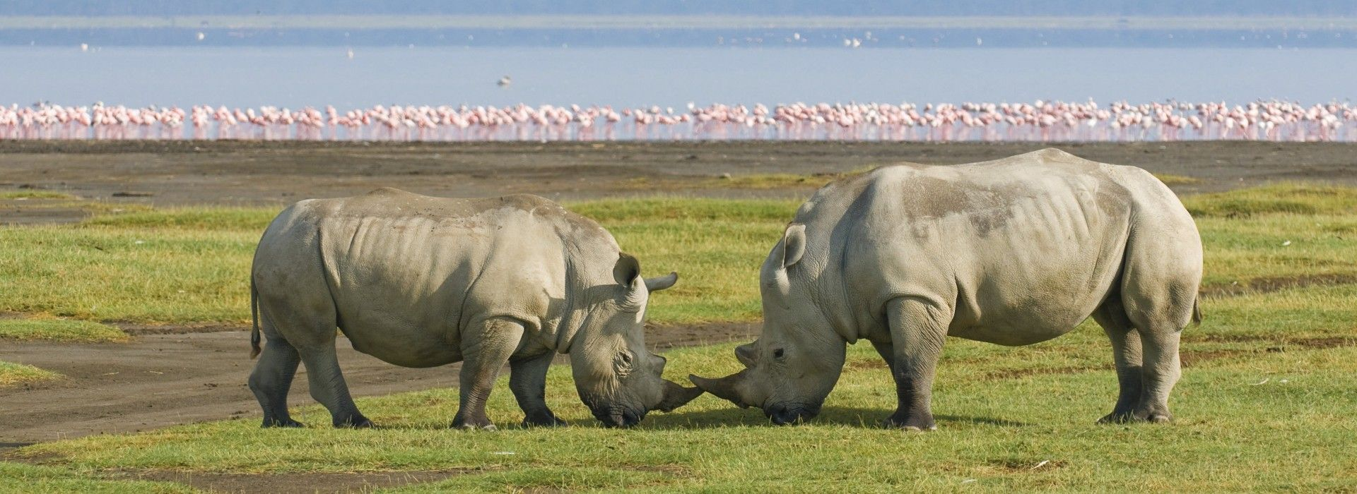 Two Rhinos and flock of pink Flamingos sightings on Lake Nakuru