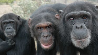 A Day Trip with Chimpanzees at Ol Pejeta Conservancy