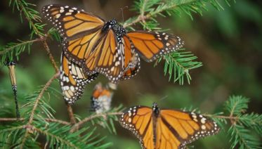 Amazing Monarch Butterfly´s Life