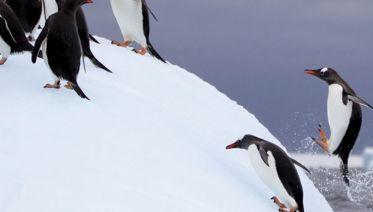 Antarctic Peninsula, Falkland Islands & South Georgia (Ocean Diamond) 2015 - 2017