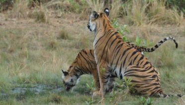 Bandhavgarh Tiger Experience 4D/3N