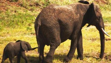 Botswana Elephant Trail