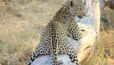 Botswana Wildlife Safari