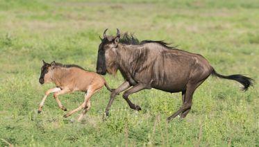 Calving Of Wildebeest,Ndutu,Serengeti,Ngorongoro