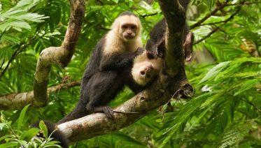 Capuchin Monkey Ways (from San Jose)