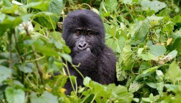 Chimps & Gorillas Of Uganda - Reverse